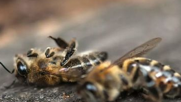 The bees of the whole planet are in danger