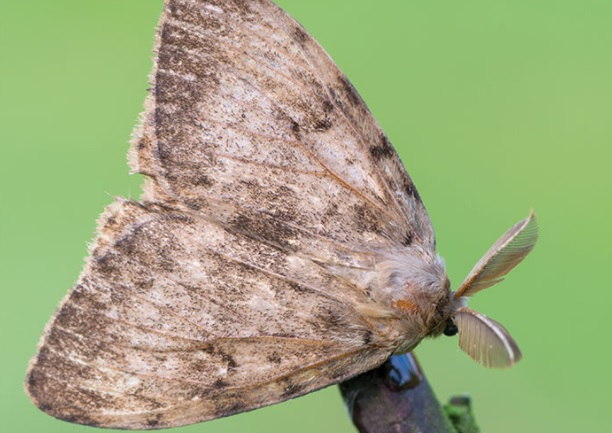 The gypsy moth / Lymantria dispar